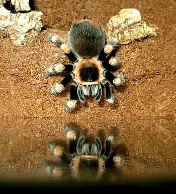 Tarantula looking at its reflection in the water.